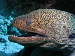 BD-061126-Ras-Mohammed--Gymnothorax-javanicus-(Bleeker.-1859)-[Giant-moray].jpg